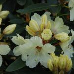 Rododendron Nippon
