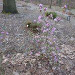Rododendron Obergartner Robenek