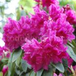 Rododendron Old Port