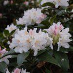 Rododendron Oliva Schlic