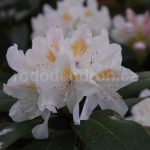 Rododendron Oliva Schlick