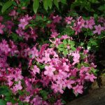 Rododendron Žofie Podlipská