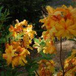 Rododendron Orangenkopfchen