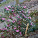 Rododendron Oreodoxa