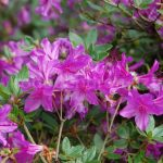 Rododendron Orlice