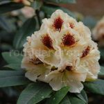 Rododendron Orlík