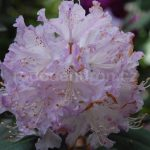 Rododendron Ortrud