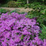 Rododendron Otava