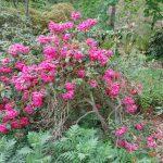 Rododendron Oudijk Sensation