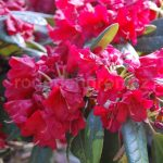 Rododendron Ovation