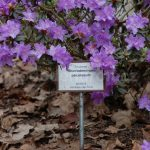 Rododendron Paludosum