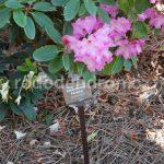 Rododendron Panenka