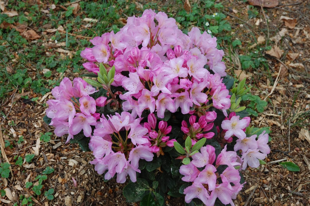 Rododendron Paola