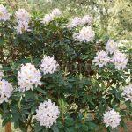Rododendron Papilionaceum
