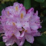 Rododendron Parsons Gloriosum