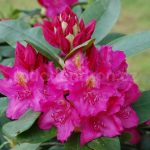 Rododendron Pearces American Beauty