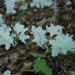 Rododendron Pelestrina