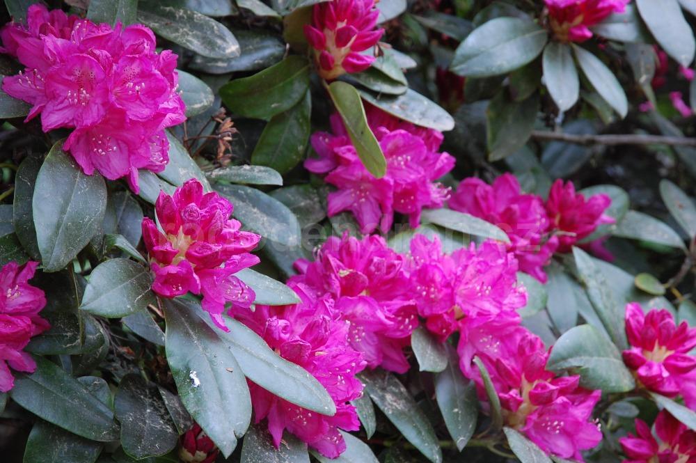 Rododendron Pelopidas