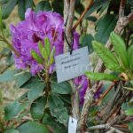 Rododendron Peter Alan