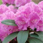 Rododendron Petr