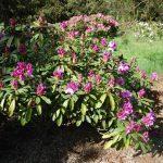 Rododendron Pfauenauge