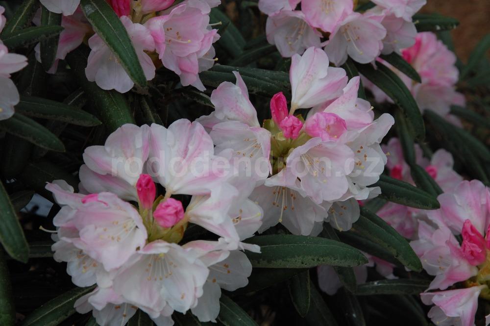 Rododendron Picola