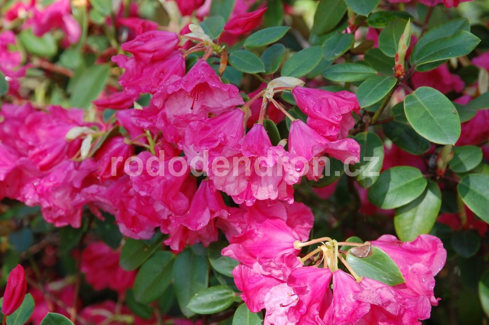 Rododendron Pink Brightenss
