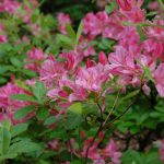 Rododendron Pink Mimosa