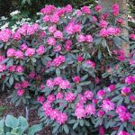 Rododendron Polaris