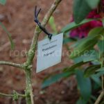 Rododendron Polarnacht