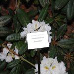 Rododendron Porzellan