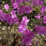 Rododendron Průhonice