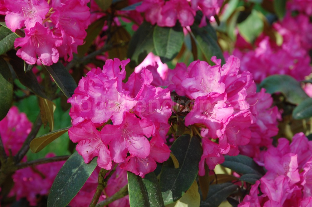 Rododendron Prinses Marijke