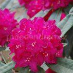 Rododendron Profesor Jelínek