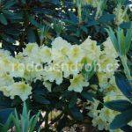 Rododendron Profesor Scholz