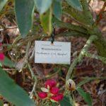 Rododendron Professor Zaayer
