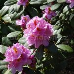 Rododendron Puccini
