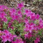 Rododendron Purple Splendour