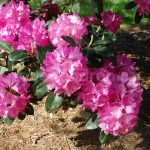Rododendron Queen Mary