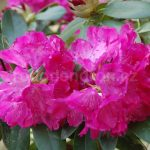 Rododendron Quendel
