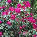 Rododendron Quito