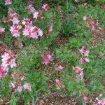 Rododendron Raimunde