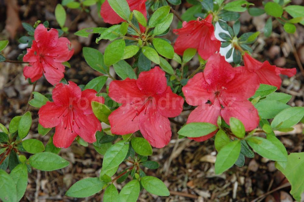 Rododendron Rajda