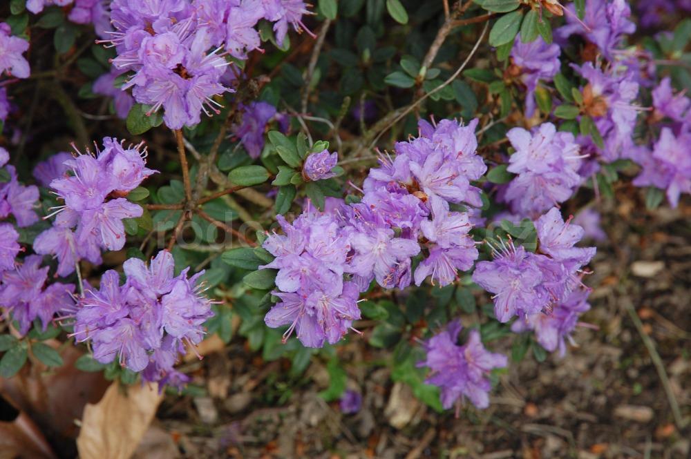 Rododendron Ramapo