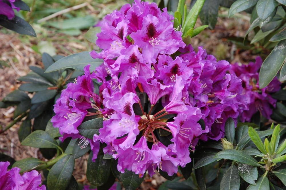 Rododendron Rasputin