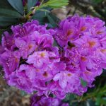 Rododendron Red Eye
