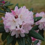 Rododendron Redwood