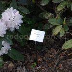 Rododendron Renata