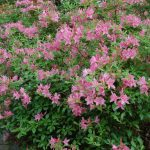 Rododendron Reve D' Amour