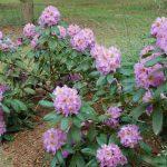 Rododendron Ricarda